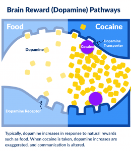 Brain reward pathways